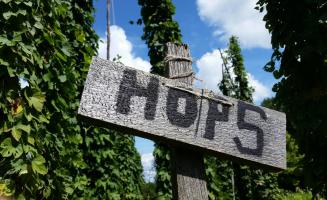 hops growing at GCVM