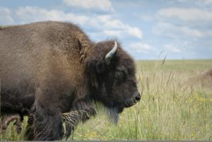 Bison At Battelle Darby Creek Metro Park