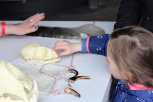 A child touches a seal skull sitting on a table.