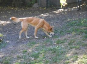 One of the dingoes exploring at the Zoo.