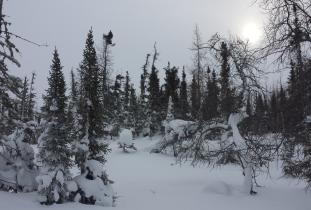 Winter in Boreal Forest