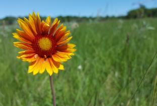 Blanket flower, Gaillardia aristata.