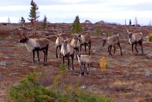 Gangler's Caribou Migration Tours