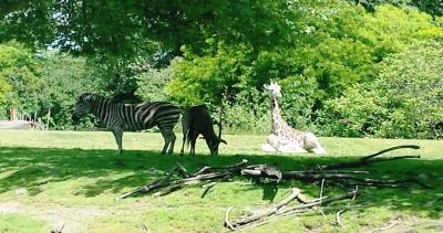 Sunny Day Adventure at Woodland Park Zoo in Seattle - Giraffes and Zebras