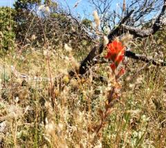 Indian Paintbrush at Horse Rock
