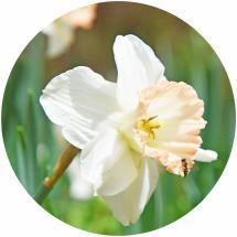 daffodil fest