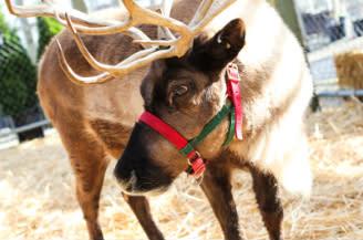 Watson's Reindeer