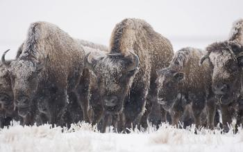 Nature Notes: Bison, Facing the Winter Head On