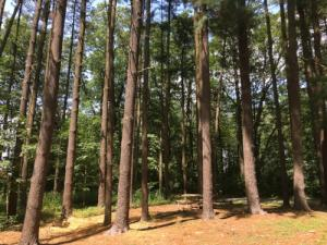 Pine Plantation Trail in Kings Gap