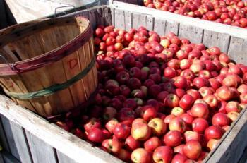 Apples from Cider Days