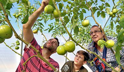 Smith's picking_tomatoes_web