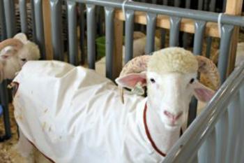 4-H Fair Sheep