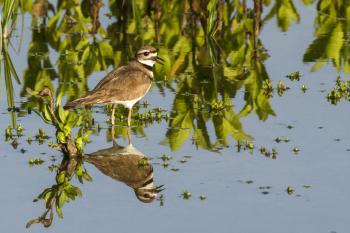 San Joaquin bird reflection