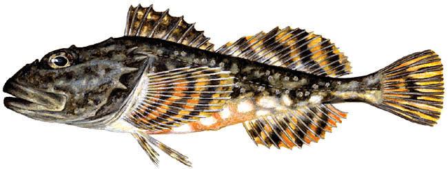 Short-spined sea scorpion