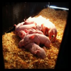 A Fun-Filled Day at the Washington State Fair: Baby piglets