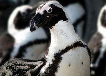 African Penguin at Seneca Park Zoo - Photo by Joe Territo