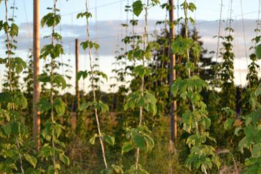 Agrarian Ales Hops by Sally McAleer