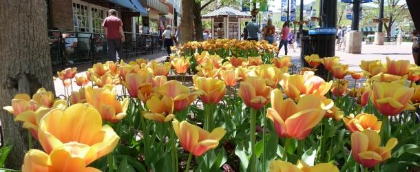 Peach Tulips on Pearl Street
