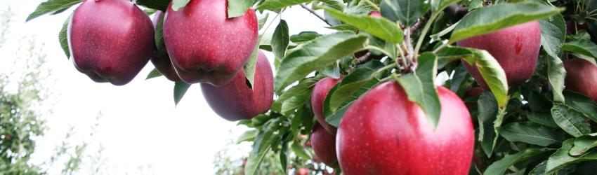 apples-red-tree-close-2