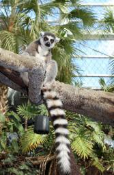 Ring Tailed Lemur 2