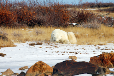 Polar Bear in the wild at Seal River Heritage Lodge in northern Manitoba
