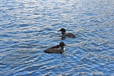Loons on Falcon Lake. Photo by Brett Calsbeck.
