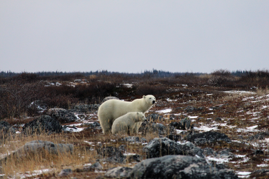 Polar Bear Cub and Mom in northern Manitoba