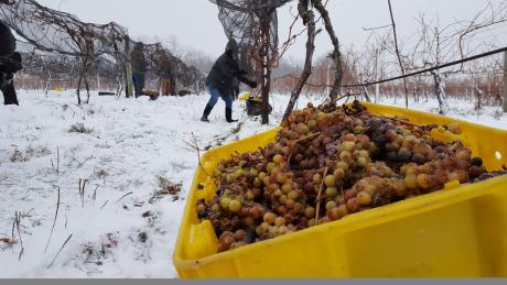 Ice Wine grape harvest at Casa Larga Vineyards