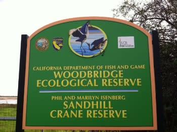 Sandhill Crane 15