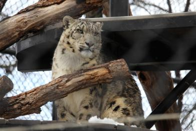 A snow leopard on a wooden platform looks out of his enclosure.