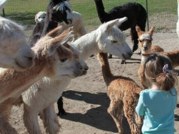 Montrose Alpaca Farms is full of history and fun!