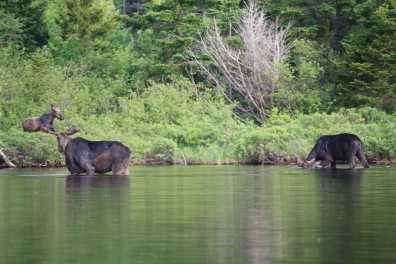 Maine Moose Tours