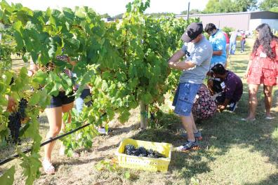 People Harvesting Grapes at the Stomp the Grapes Event