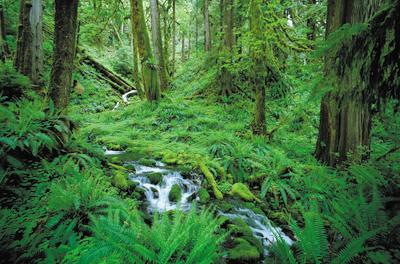 Hoh Rain Forest Trees, Ferns and Stream