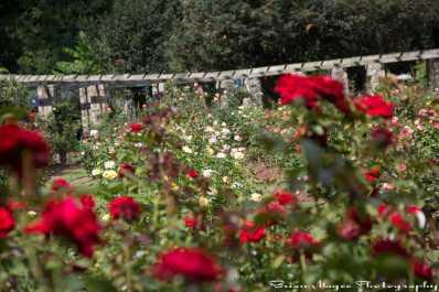 Raleigh Municipal Rose Garden