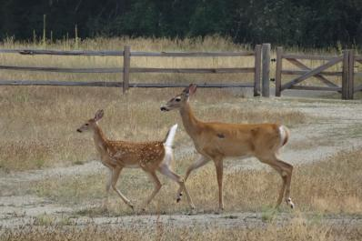 Doe and fawn in the park