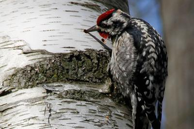 Woodpecker at Cowles Bog - Indiana Dunes