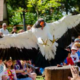 Bird Show King Vulture
