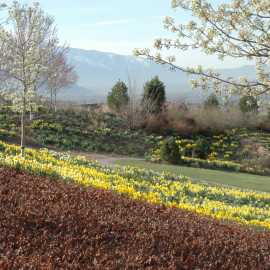 450,000 Spring bulbs and blooms