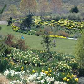 Daffodils at Red Butte Garden