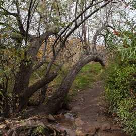 Russian Olive tree where the trail crosses a stream, photo by John Badila