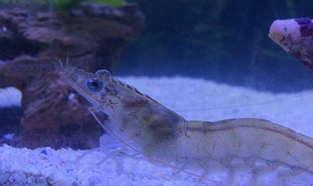 JT Shrimp in a tank Wheatfield