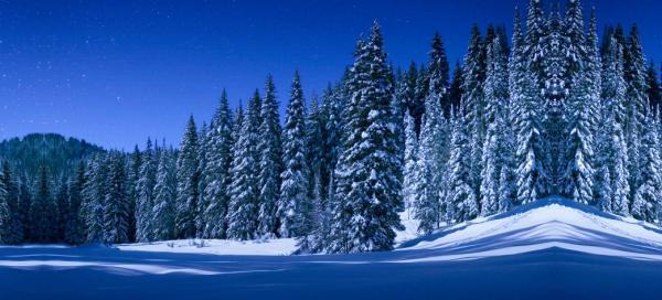 Pine Trees in the Snow