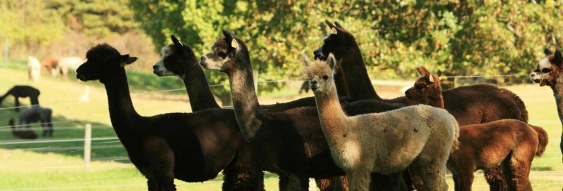 lazy-acre-alpacas-bloomfield-pet-alpaca