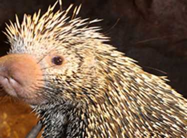 Porcupine at Chattanooga Zoo