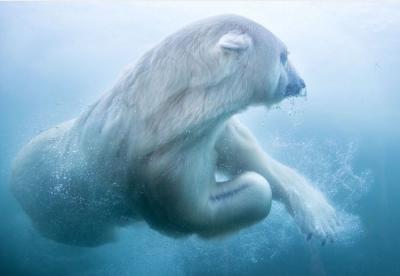 Polar Bears at Columbus Zoo and Aquarium