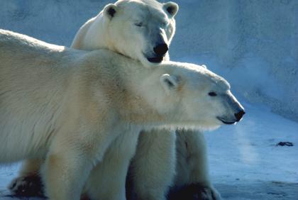 Polar Bears At Seneca Park Zoo