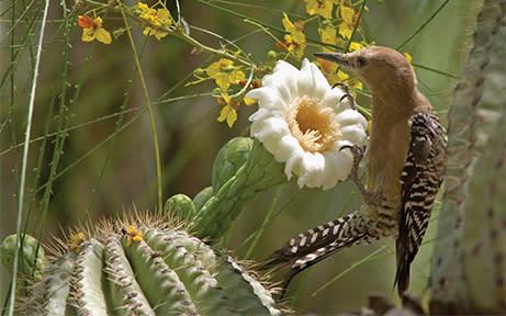 Cactus Wren Cacti & Critters