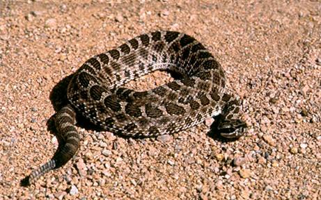 Rattlesnake CActi & Critters