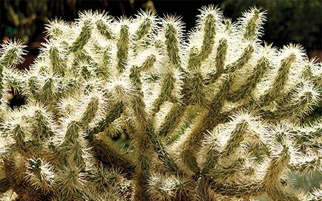 Cholla Cacti & Critters